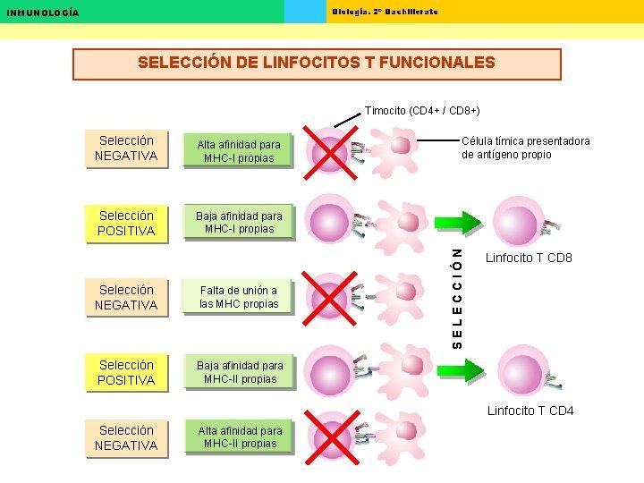 Biología. 2º Bachillerato INMUNOLOGÍA SELECCIÓN DE LINFOCITOS T FUNCIONALES Timocito (CD 4+ / CD