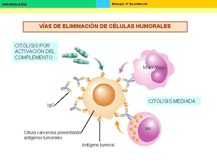 Biología. 2º Bachillerato INMUNOLOGÍA VÍAS DE ELIMINACIÓN DE CÉLULAS HUMORALES CITÓLISIS POR ACTIVACIÓN DEL