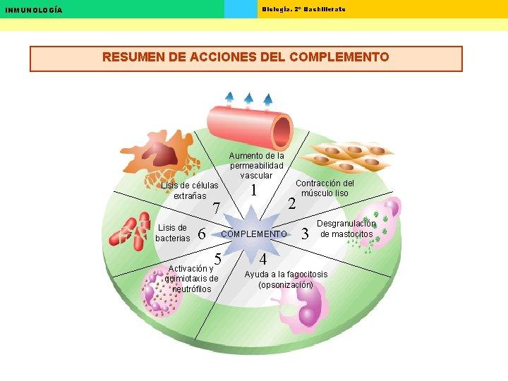 Biología. 2º Bachillerato INMUNOLOGÍA RESUMEN DE ACCIONES DEL COMPLEMENTO Aumento de la permeabilidad vascular