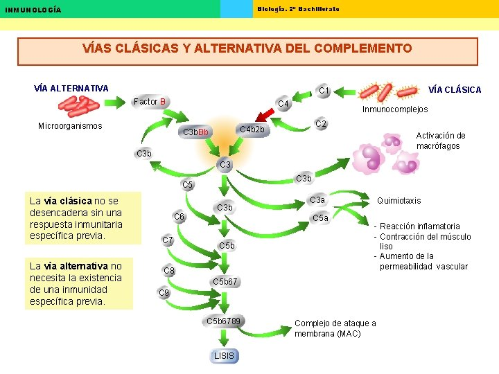 Biología. 2º Bachillerato INMUNOLOGÍA VÍAS CLÁSICAS Y ALTERNATIVA DEL COMPLEMENTO VÍA ALTERNATIVA VÍA CLÁSICA