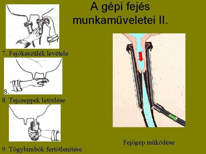 A gépi fejés munkaműveletei II. 7. Fejőkészülék levétele 8. Tejcseppek letörlése 9. Tőgybimbók fertőtlenítése
