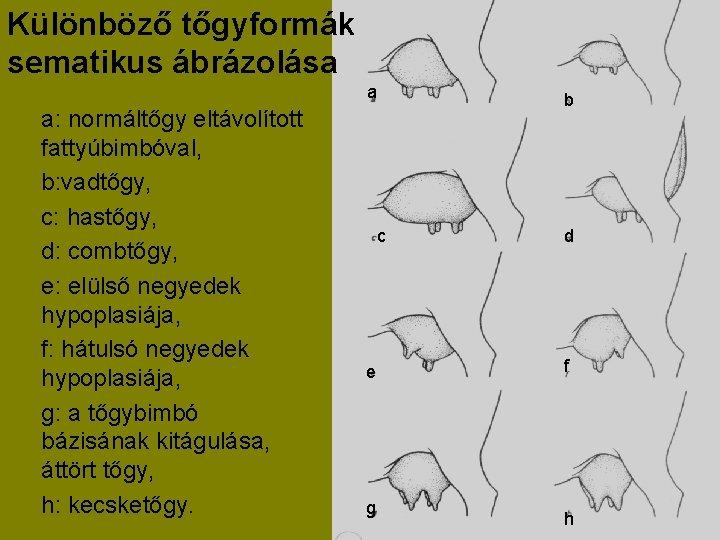 Különböző tőgyformák sematikus ábrázolása a a: normáltőgy eltávolított fattyúbimbóval, b: vadtőgy, c: hastőgy, d: