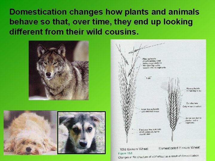 Domestication changes how plants and animals behave so that, over time, they end up
