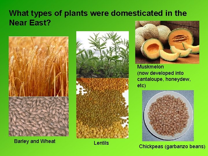 What types of plants were domesticated in the Near East? Muskmelon (now developed into