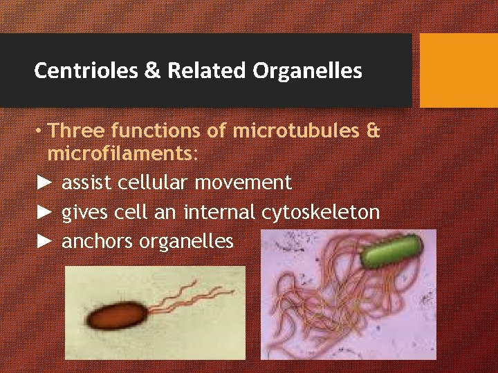 Centrioles & Related Organelles • Three functions of microtubules & microfilaments: ► assist cellular