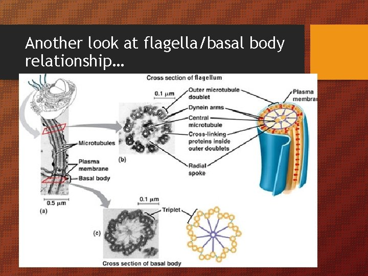 Another look at flagella/basal body relationship…