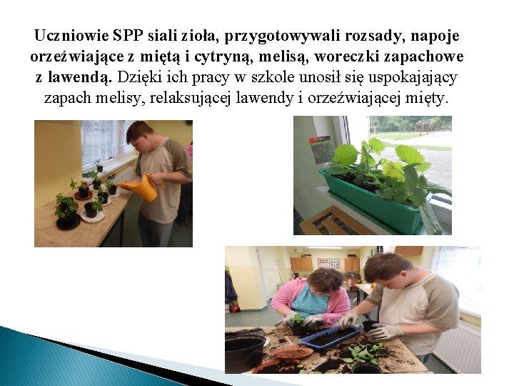 Uczniowie SPP siali zioła, przygotowywali rozsady, napoje orzeźwiające z miętą i cytryną, melisą, woreczki