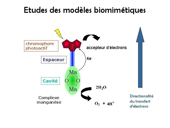 Etudes modèles biomimétiques chromophore photoactif Ru 4 e- Espaceur Cavité Complexe manganèse accepteur d'électrons