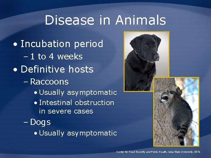 Disease in Animals • Incubation period – 1 to 4 weeks • Definitive hosts
