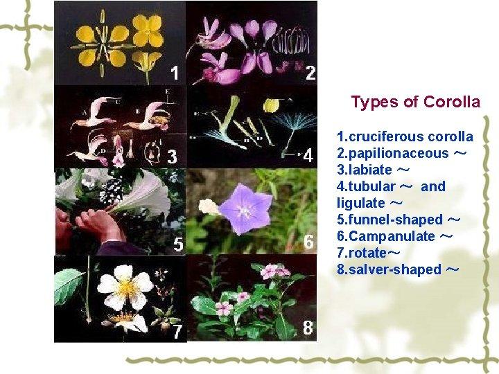 Types of Corolla 1. cruciferous corolla 2. papilionaceous ~ 3. labiate ~ 4. tubular