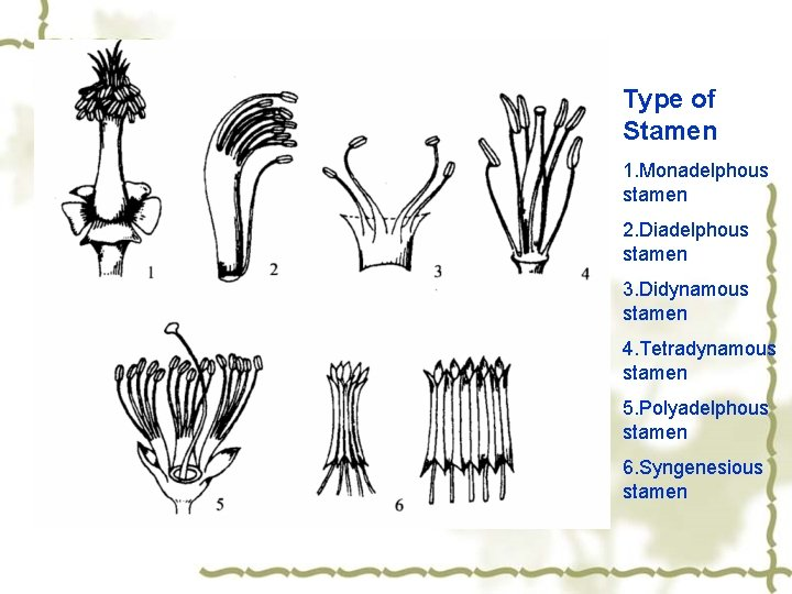 Type of Stamen 1. Monadelphous stamen 2. Diadelphous stamen 3. Didynamous stamen 4. Tetradynamous