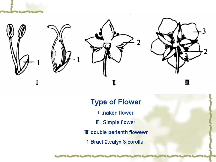 Type of Flower Ⅰ. naked flower Ⅱ. Simple flower Ⅲ. double perianth flowewr 1.