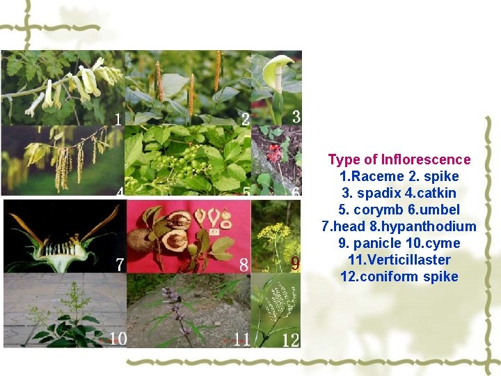 Type of Inflorescence 1. Raceme 2. spike 3. spadix 4. catkin 5. corymb 6.