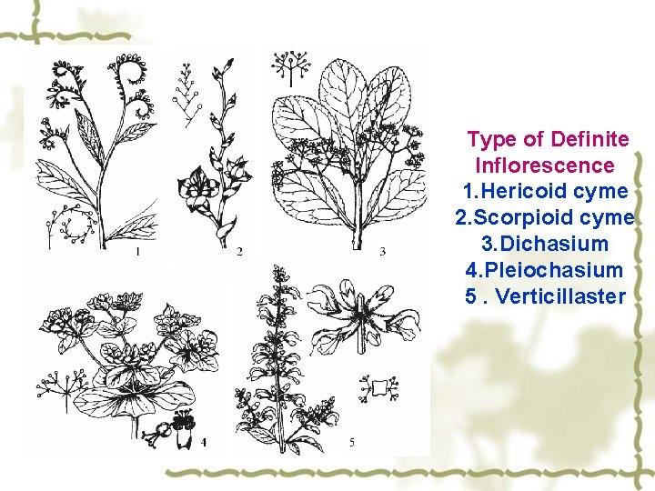 Type of Definite Inflorescence 1. Hericoid cyme 2. Scorpioid cyme 3. Dichasium 4. Pleiochasium