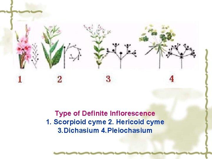Type of Definite Inflorescence 1. Scorpioid cyme 2. Hericoid cyme 3. Dichasium 4. Pleiochasium