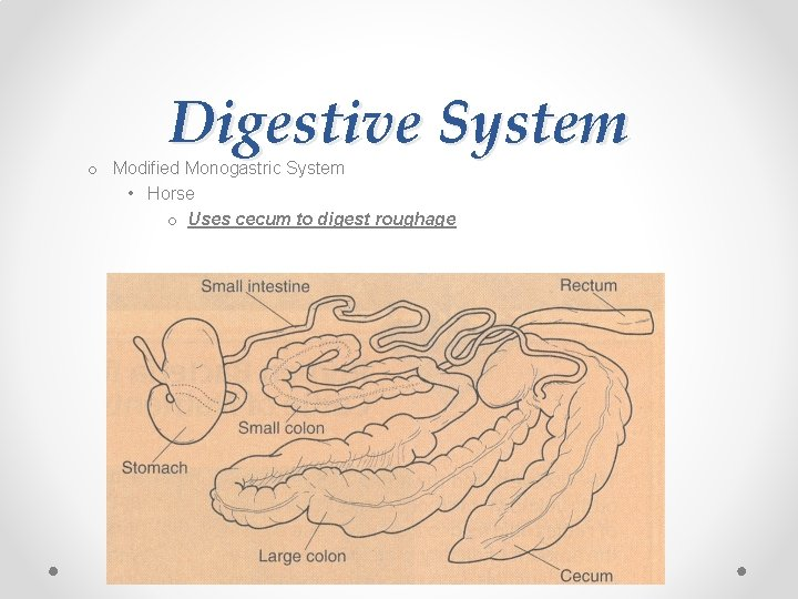Digestive System o Modified Monogastric System • Horse o Uses cecum to digest roughage