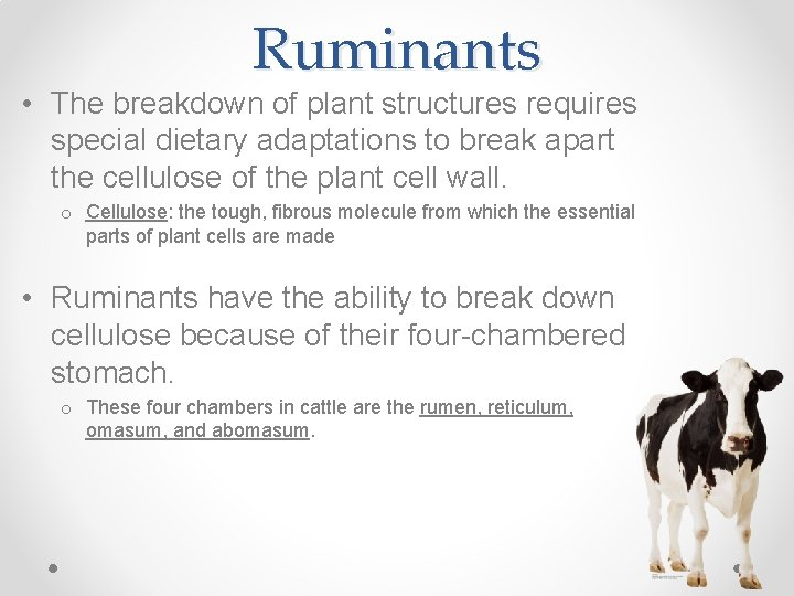 Ruminants • The breakdown of plant structures requires special dietary adaptations to break apart