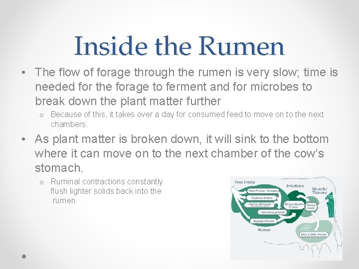Inside the Rumen • The flow of forage through the rumen is very slow;