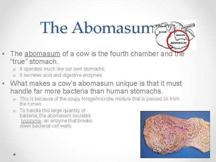 The Abomasum • The abomasum of a cow is the fourth chamber and the