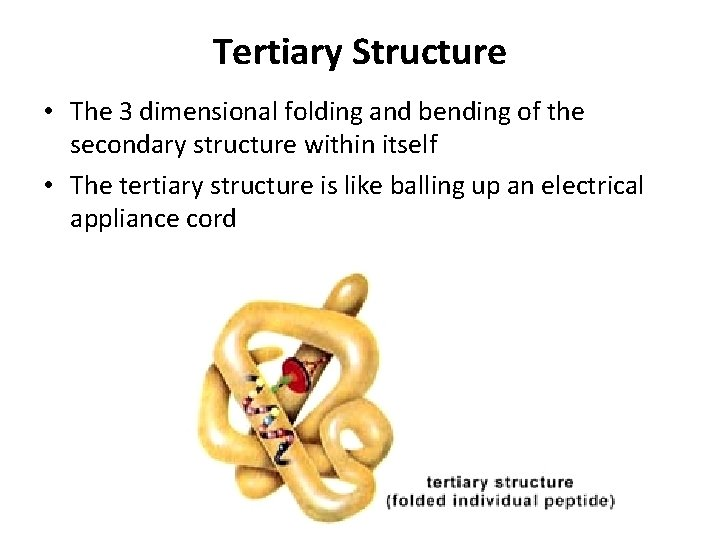 Tertiary Structure • The 3 dimensional folding and bending of the secondary structure within