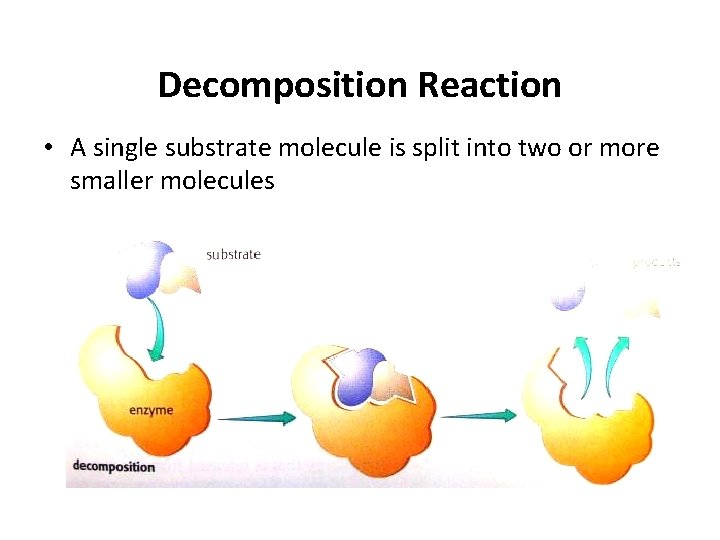 Decomposition Reaction • A single substrate molecule is split into two or more smaller