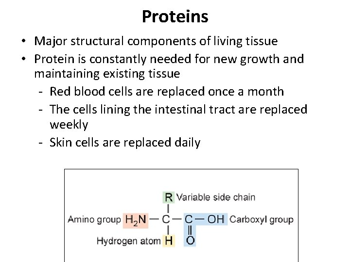 Proteins • Major structural components of living tissue • Protein is constantly needed for
