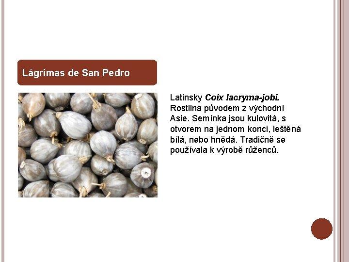 Lágrimas de San Pedro Latinsky Coix lacryma-jobi. Rostlina původem z východní Asie. Semínka jsou