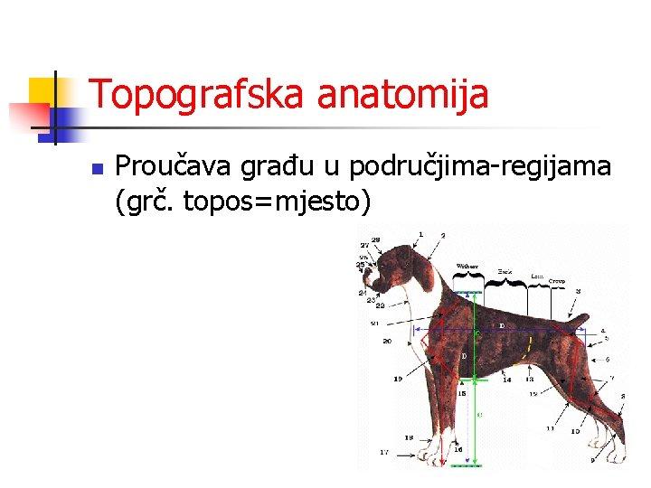 Topografska anatomija n Proučava građu u područjima-regijama (grč. topos=mjesto)