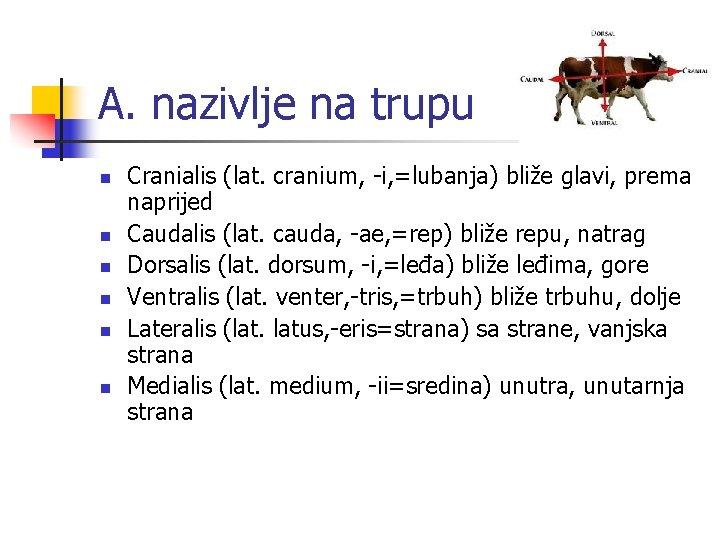 A. nazivlje na trupu n n n Cranialis (lat. cranium, -i, =lubanja) bliže glavi,