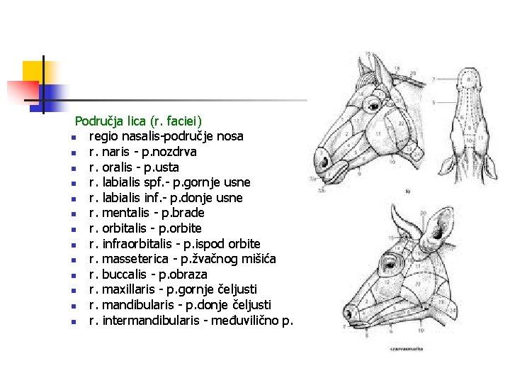 Područja lica (r. faciei) n regio nasalis-područje nosa n r. naris - p. nozdrva