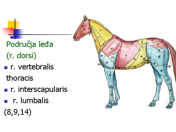 Područja leđa (r. dorsi) n r. vertebralis thoracis n r. interscapularis n r. lumbalis