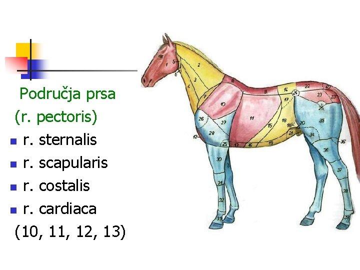 Područja prsa (r. pectoris) n r. sternalis n r. scapularis n r. costalis n