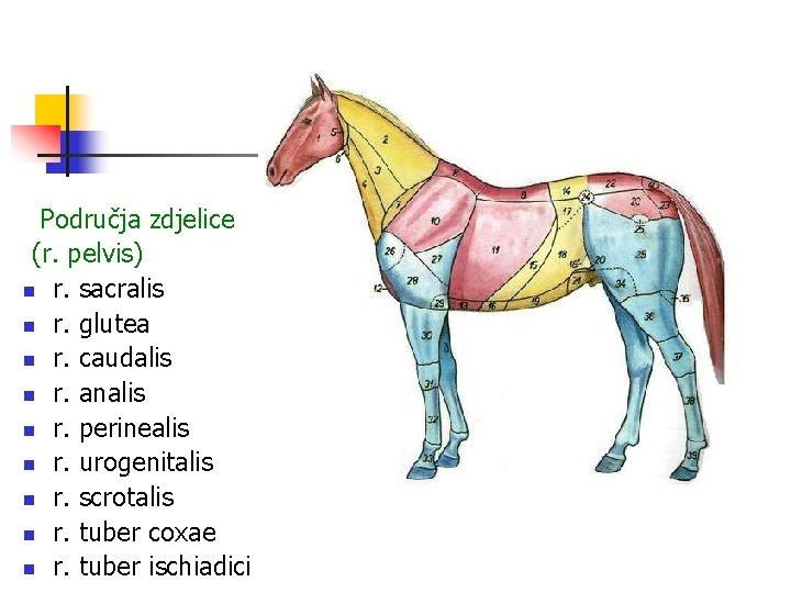 Područja zdjelice (r. pelvis) n r. sacralis n r. glutea n r. caudalis n