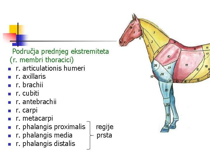 Područja prednjeg ekstremiteta (r. membri thoracici) n r. articulationis humeri n r. axillaris n