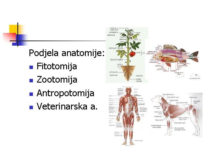 Podjela anatomije: n Fitotomija n Zootomija n Antropotomija n Veterinarska a.