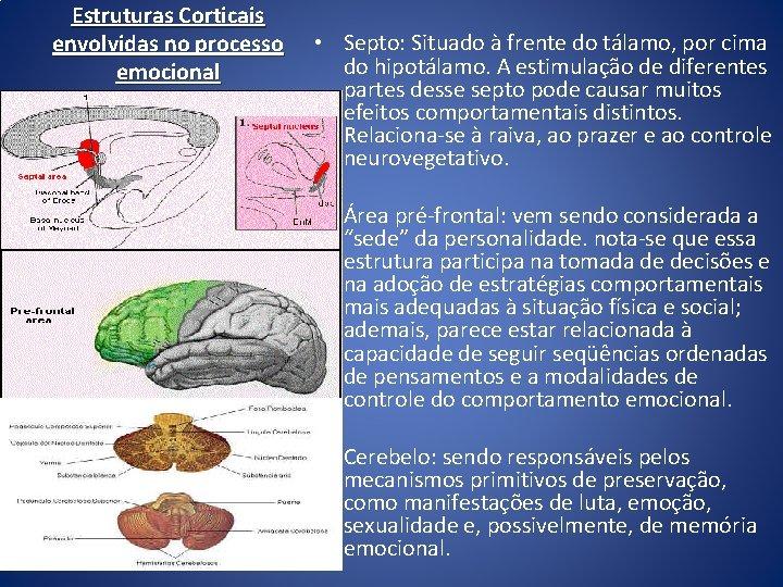 Estruturas Corticais envolvidas no processo emocional • Septo: Situado à frente do tálamo, por