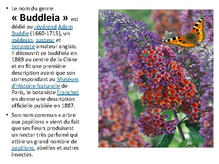 • Le nom du genre « Buddleia » est dédié au révérend Adam