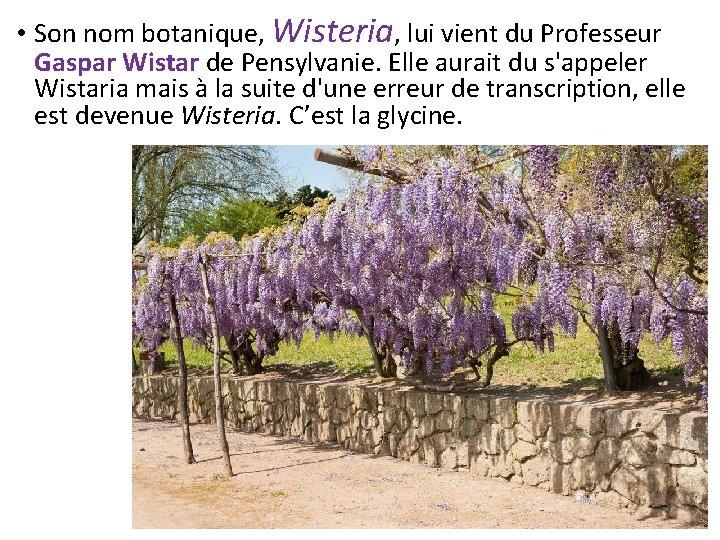 • Son nom botanique, Wisteria, lui vient du Professeur Gaspar Wistar de Pensylvanie.
