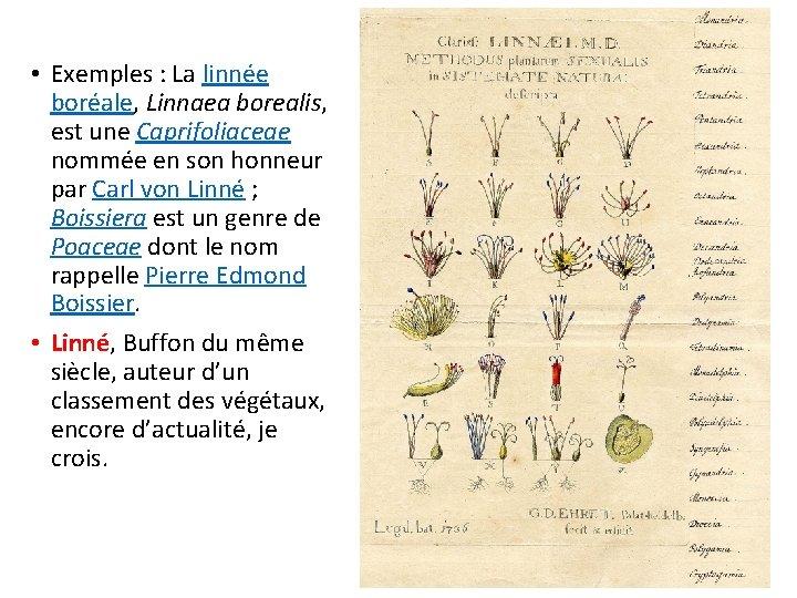 • Exemples : La linnée boréale, Linnaea borealis, est une Caprifoliaceae nommée en