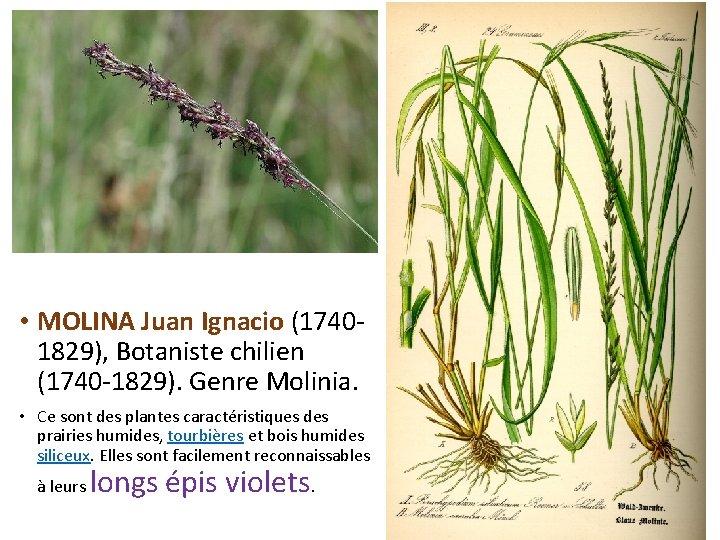 • MOLINA Juan Ignacio (17401829), Botaniste chilien (1740 -1829). Genre Molinia. • Ce