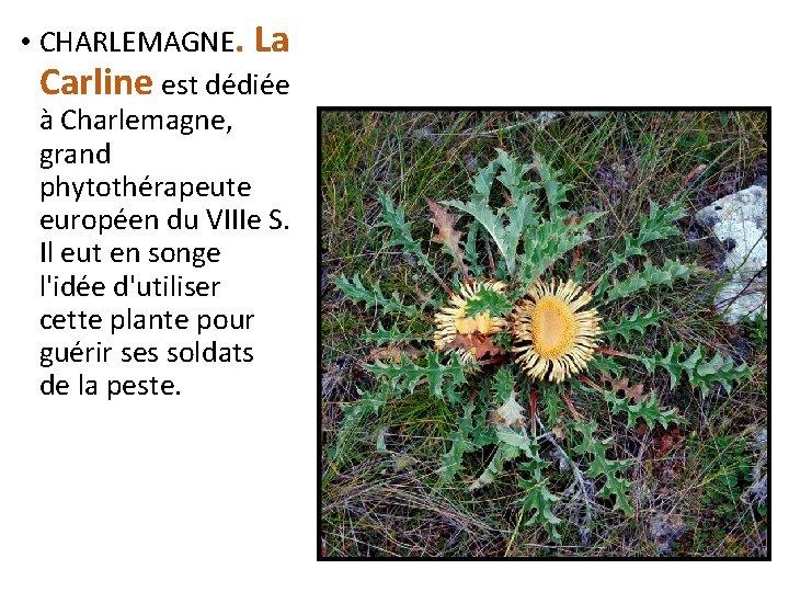 • CHARLEMAGNE. La Carline est dédiée à Charlemagne, grand phytothérapeute européen du VIIIe