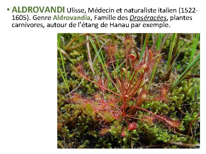 • ALDROVANDI Ulisse, Médecin et naturaliste italien (15221605). Genre Aldrovandia, Famille des Droséracées,