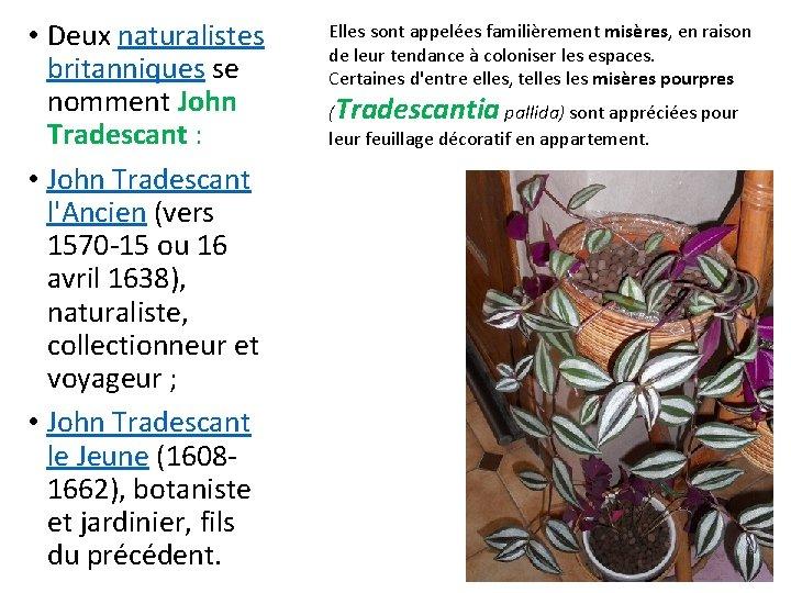 • Deux naturalistes britanniques se nomment John Tradescant : • John Tradescant l'Ancien