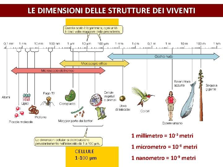 LE DIMENSIONI DELLE STRUTTURE DEI VIVENTI 1 millimetro = 10 -3 metri CELLULE 1
