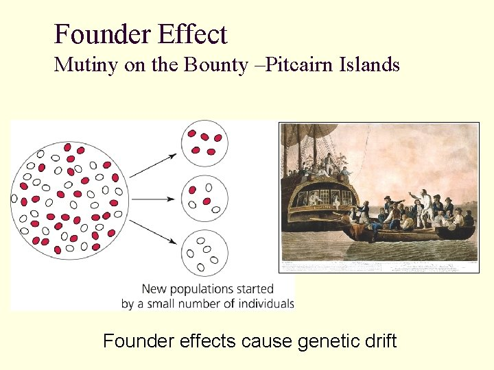 Founder Effect Mutiny on the Bounty –Pitcairn Islands Founder effects cause genetic drift