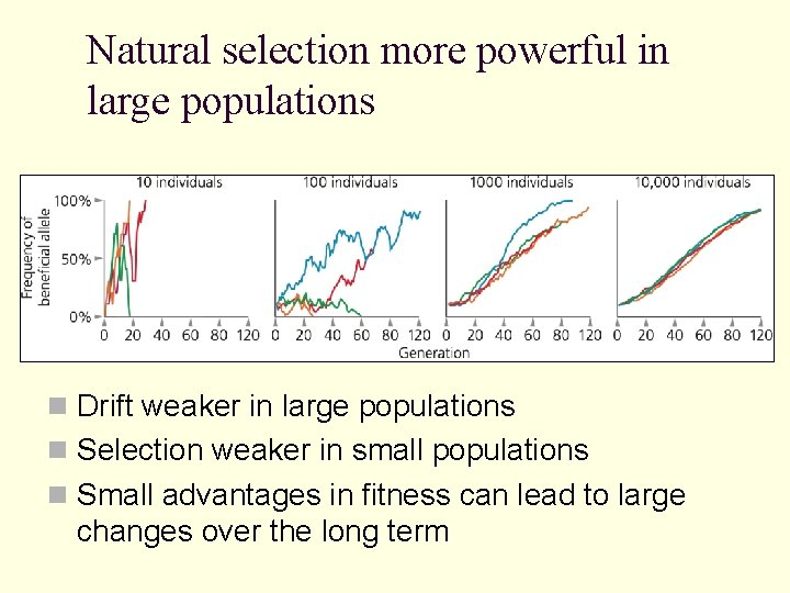 Natural selection more powerful in large populations n Drift weaker in large populations n