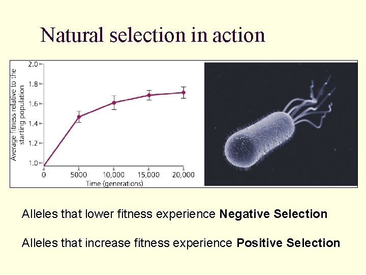 Natural selection in action Alleles that lower fitness experience Negative Selection Alleles that increase