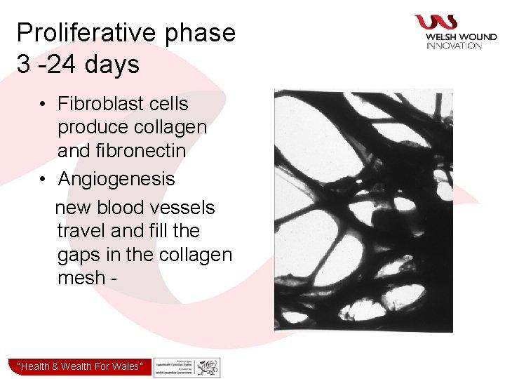 Proliferative phase 3 -24 days • Fibroblast cells produce collagen and fibronectin • Angiogenesis