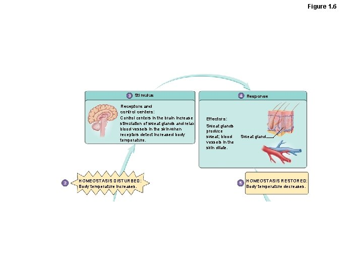 Figure 1. 6 Stimulus Receptors and control centers: Control centers in the brain increase