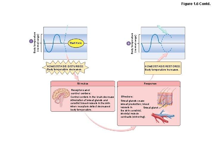 Start Here Body temperature (normal range) Figure 1. 6 Contd. HOMEOSTASIS DISTURBED: Body temperature